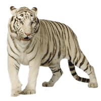Download White Tiger Png Clipart HQ PNG Image | FreePNGImg