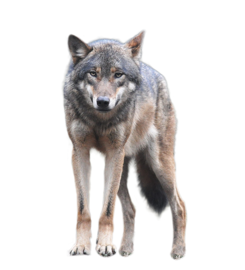 Download Wolf Download Png Hq Png Image Freepngimg