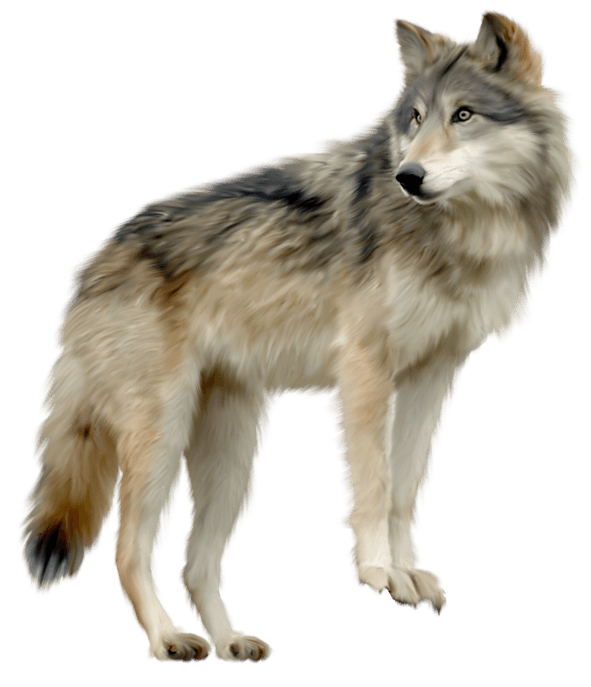 Wolf Png Image Picture Download PNG Image